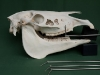 Equine Skull with Instruments